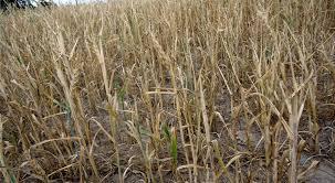 Ilustracja do informacji: Susza - Komunikat w sprawie szkód powstałych w uprawach rolnych